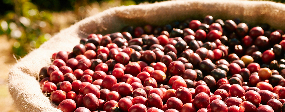 Cà phê Arabica Cầu Đất – Cà phê Arabica Đà Lạt