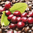 Cà phê Arabica Tây Bắc